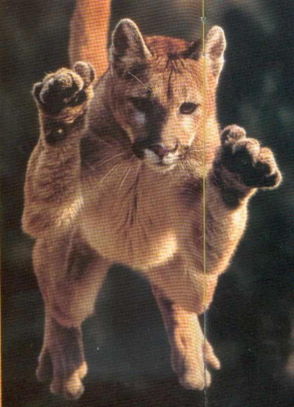 Fotografije malih i velikih mačaka - Page 2 Puma%20%281%29