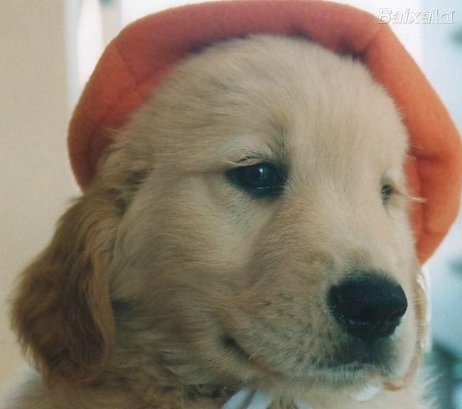Psi i psići (kinologija, pasmine pasa, obuka pasa, dresura pasa, lovački psi, kućni psi, hranidba pasa, slike pasa, Vaša najdraža pasmina pasa, izložbe pasa, šetanje pasa, kupanje pasa, perilica za pse, hrana za pse) - Page 2 Zlatni%20retriver%20(11)