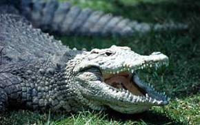 Krokodili Nilski%20krokodil